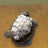 """A turtle in the water tank: """"Welcome to my ancestral home. It's been in the family for centuries."""""""