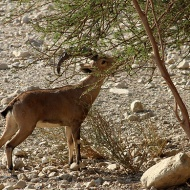 The goat aka Nubian ibex in Ein Gedi, Spring of the Kid-Goat.